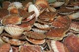photo coquilles-saint-jacques-1.jpg